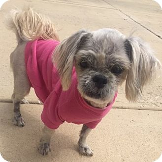 Shih Tzu Mix Dog for adoption in Oswego, Illinois - Bianca (from foster home)