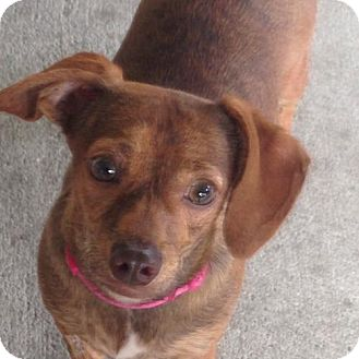 Dachshund/Chihuahua Mix Puppy for adoption in Tampa, Florida - BETSY (WB KSW)