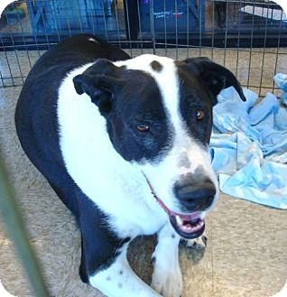 Labrador Retriever/Border Collie Mix Dog for adoption in Las Vegas, Nevada - Boss Murphy