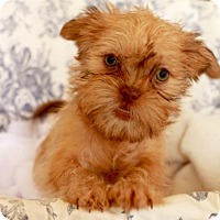 Affenpinscher/Shih Tzu Mix Puppy for adoption in Palo Alto, California - Coffee's Macchiato