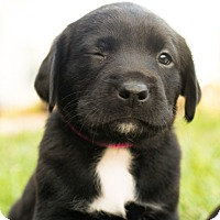 Labrador Retriever Mix Puppy for adoption in Hanover, Pennsylvania - Beatrix Potter