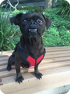 Pug/Beagle Mix Dog for adoption in Huntington Beach, California - Dracula