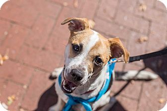 Chihuahua/Jack Russell Terrier Mix Dog for adoption in Washington, D.C. - Turbo