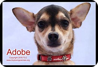 Chihuahua Mix Dog for adoption in Simi Valley, California - Adobe