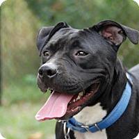 American Pit Bull Terrier Mix Dog for adoption in Fulton, Missouri - Raven - Massachusetts