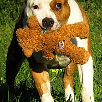 Pit Bull Terrier Mix Dog for adoption in West Babylon, New York - Adam