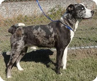 Catahoula Leopard Dog Mix Dog for adoption in Olive Branch, Mississippi - Indie