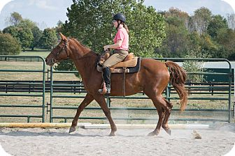 Gaited Mix for adoption in Nicholasville, Kentucky - Cocoa Dawn
