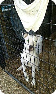 Dalmatian Mix Dog for adoption in Denver, Colorado - Boudreaux