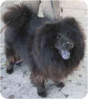 Chow Chow Dog for adoption in Los Alamitos, California - Bear