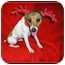 Photo 4 - Jack Russell Terrier Dog for adoption in Omaha, Nebraska - Poppy