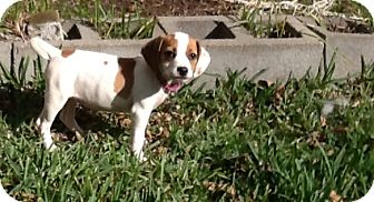 Beagle Puppy for adoption in Houston, Texas - Lalo