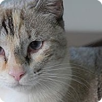 Adopt A Pet :: Snowbelle - Lighthouse Point, FL