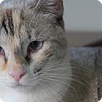 Adopt A Pet :: Snowbelle - Lighthouse Point, FL