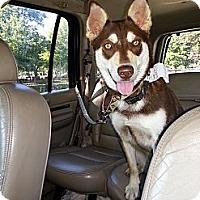 Adopt A Pet :: Sasha - Elkhart, IN