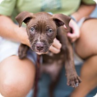 Adopt A Pet :: Hamlet - Reisterstown, MD