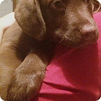 Adopt A Pet :: Lab Mix Pup - Bear - Midlothian, VA