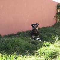 American Pit Bull Terrier/Great Dane Mix Dog for adoption in Radium Springs, New Mexico - Guy