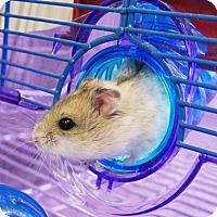 Adopt A Pet :: Cinnamon - Fairport, NY