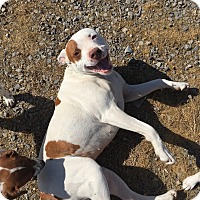 Adopt A Pet :: Delli in Ct - Manchester, CT