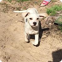 Adopt A Pet :: Jack Dempsey - McKinney, TX