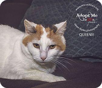 Domestic Shorthair Cat for adoption in Cincinnati, Ohio - Queenie