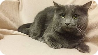 Domestic Mediumhair Cat for adoption in Cannelton, Indiana - Smokey