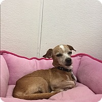 Chihuahua/Italian Greyhound Mix Dog for adoption in Scottsdale, Arizona - Percy