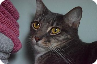 Domestic Shorthair Cat for adoption in West Palm Beach, Florida - Buster