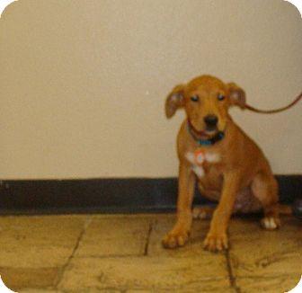 Labrador Retriever/Golden Retriever Mix Puppy for adoption in Oviedo, Florida - Nissan