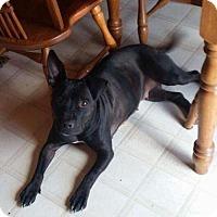 Pit Bull Terrier/Labrador Retriever Mix Dog for adoption in New York, New York - Zulu Bear (MD)
