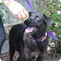 Labrador Retriever Dog for adoption in Boston, Massachusetts - Polly