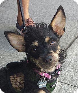 Terrier (Unknown Type, Medium)/Miniature Pinscher Mix Dog for adoption in Encino, California - Shana