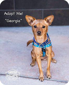 Chihuahua/Dachshund Mix Dog for adoption in Valencia, California - Georgia