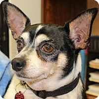 Jack Russell Terrier/Chihuahua Mix Dog for adoption in Waynesboro, Pennsylvania - Rosco