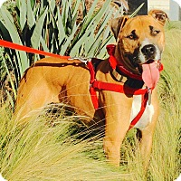 Adopt A Pet :: Handsome Coco-VIDEO - Burbank, CA