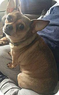 Chihuahua Mix Dog for adoption in Bucks County, Pennsylvania - Joey
