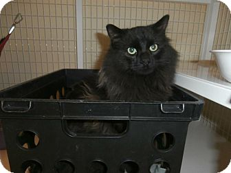 Domestic Longhair Cat for adoption in Gunnison, Colorado - Fozzie