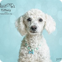 Adopt A Pet :: Tiffany - Chandler, AZ