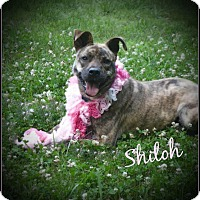 Adopt A Pet :: Shiloh - Jefferson, GA