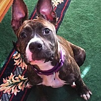 American Bulldog/American Staffordshire Terrier Mix Dog for adoption in Cedarbrook, New Jersey - Bean