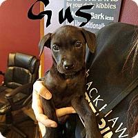 Adopt A Pet :: Gus - Livermore, CA