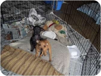Dachshund/Chihuahua Mix Puppy for adoption in Adamsville, Tennessee - Milo