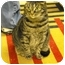 Photo 1 - Domestic Shorthair Cat for adoption in Mission, British Columbia - Foxy Roxy