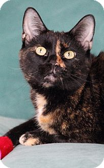 Domestic Shorthair Cat for adoption in Chicago, Illinois - Huggy