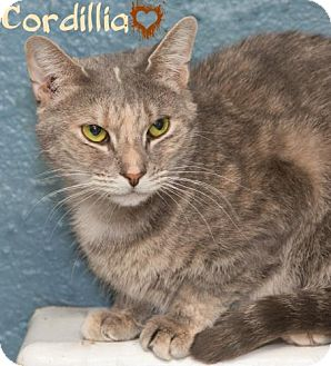 Domestic Shorthair Cat for adoption in River Edge, New Jersey - Cordillia