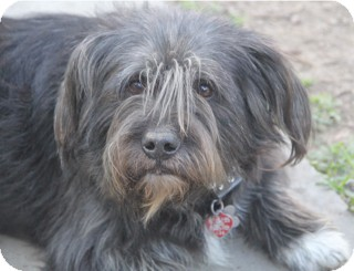 Bearded Collie/Basset Hound Mix Dog for adoption in Norwalk, Connecticut - Baylor - adoption pending