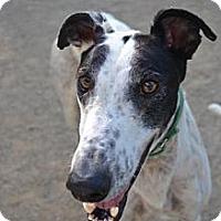 Adopt A Pet :: Tom (Tomasz Atombomb) - Chagrin Falls, OH