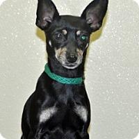 Adopt A Pet :: Thimble - Port Washington, NY