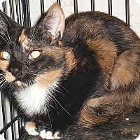 Calico Cat for adoption in Chattanooga, Tennessee - Dynasty
